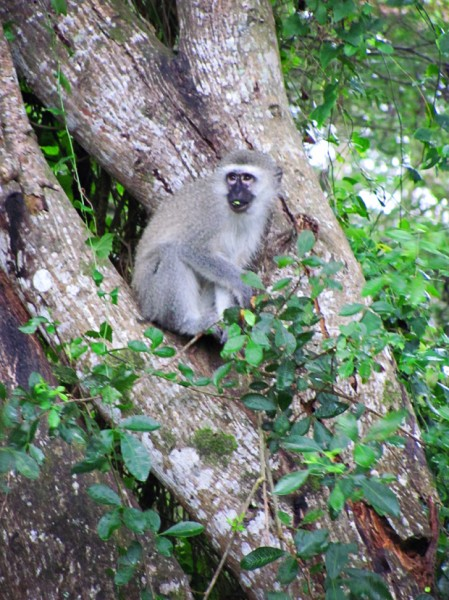 st lucia south africa monkey