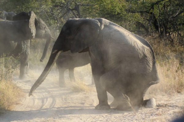 Elephant taking a seat at Elephant Plains on safari in South Africa